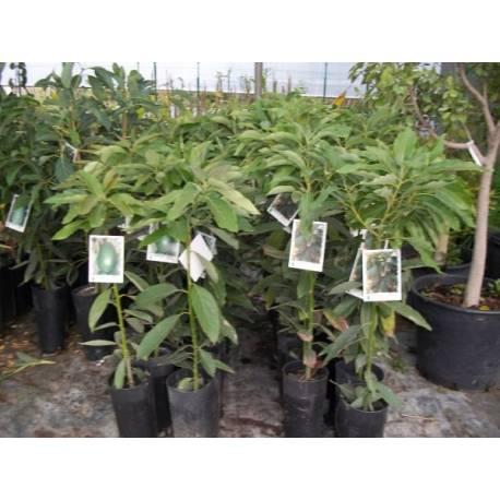 aguacate reed en maceta - viveros alberola