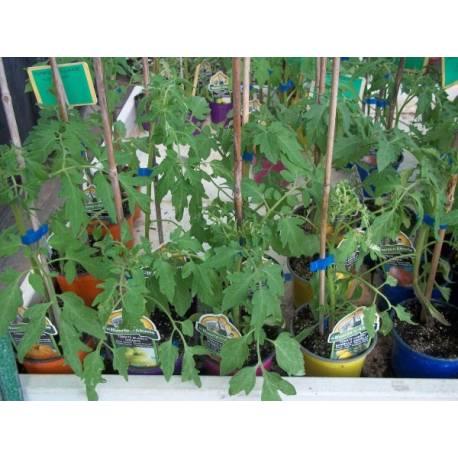 Planta tomate cherry en maceta de 20 cm viveros alberola - Tomates cherry en maceta ...