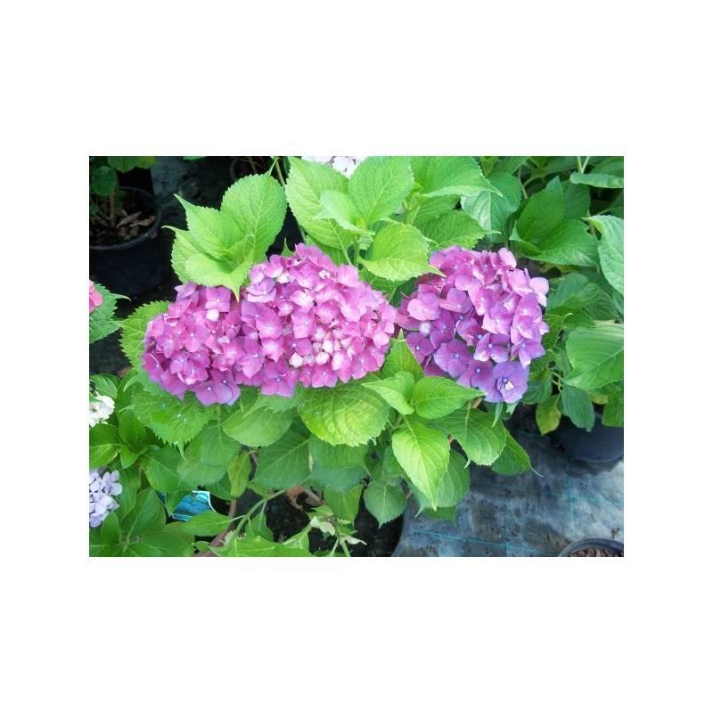 Como Cuidar Las Hortensias De Exterior Fabulous Cmo Cultivar